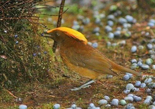 Un giardiniere di buon gusto:  Amblyornis macgregoriae